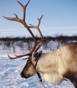My family raised reindeer in the old country.